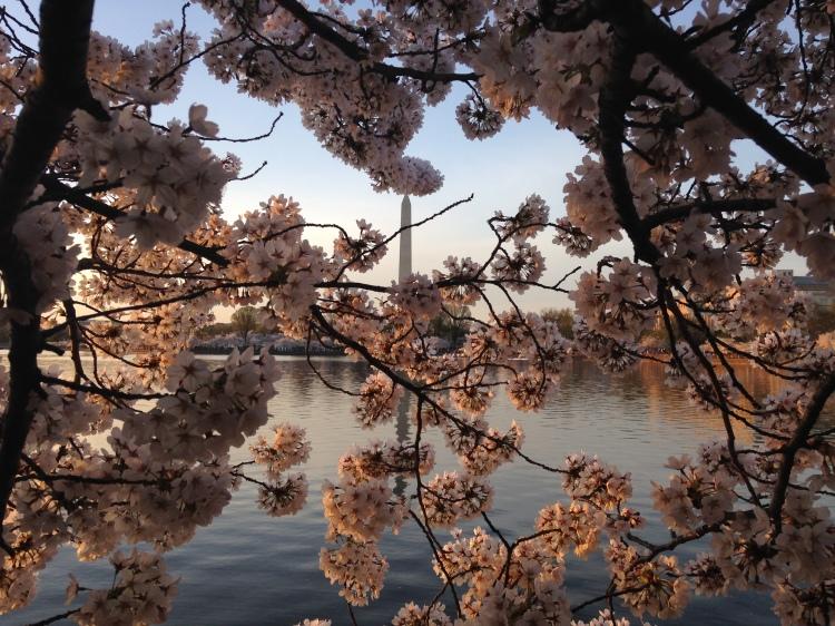 El florecimiento de los cerezos en primavera - 12 de abril 2015 - Washington DC